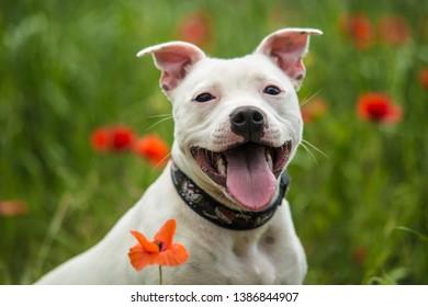 Cute white puppy staffordshire bull terrier