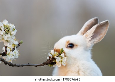 cute white rabbit eating plum tree flowers
