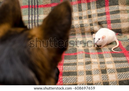 Cute white rat and a silhouette of a German shepherd dog watching the rat (selective focus on the rat)