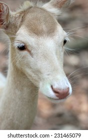 Cute White red deer close up portrait