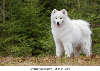 Cute white Samoyed dog stands against a background of coniferous plants