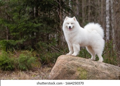 A cute white Samoyed dog stands on a large boulder against a background of coniferous plants in the forest