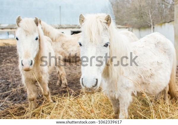 cute white shaggy pony in the stall  - countryside, farm