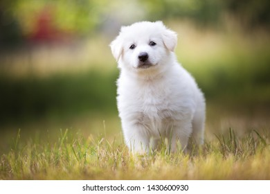Cute white shepherd puppy on the meadow. Berger blanc Suisse.