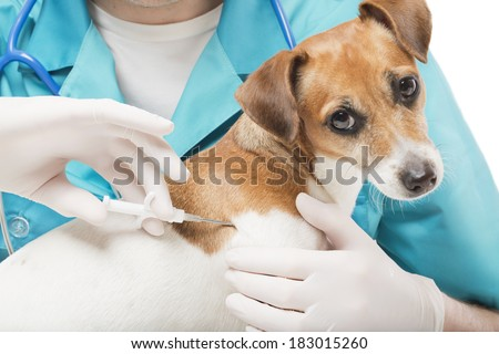 cute white small dog gets a special syringe vet microchipping mandatory for eu pets in the veterinary clinic