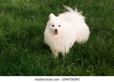 Cute white spitz dog on the green grass outdoor