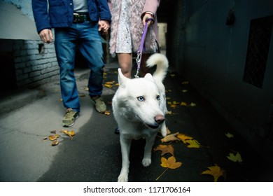 Cute white Swiss Shepherd dog walking outside with owner. Friendly smiling fluffy dog. Dog with blue eyes and white fur. Pedigree dog.