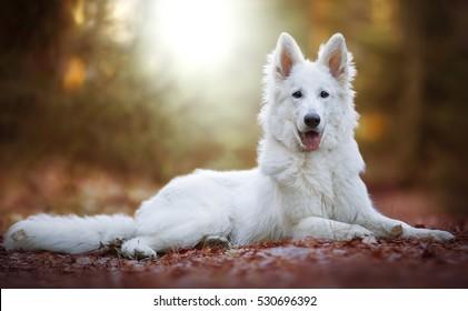Cute White Swiss Shepherd Dog outdoor portrait