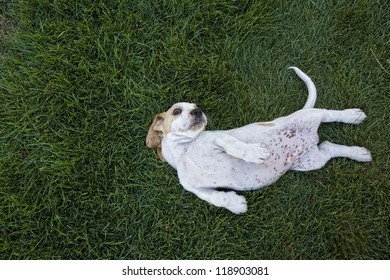 Cute white and tan Basset Hound lying upside down in the grass with spotted tummy showing