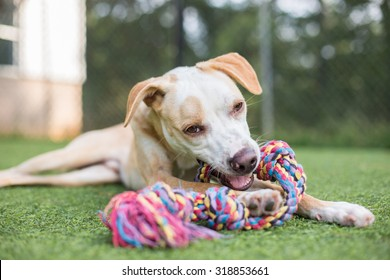 Cute white and tan puppy plays with rope toy outside