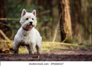 Cute white West Highland Terrier Dog looking alert and playful with blurred nature background.