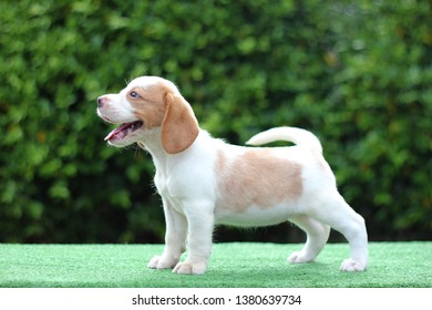 A cute white-brown color beagle puppy smile and show red tongue . It stand on the green grass which has tree as a background. It has copy space for text and advertisement.