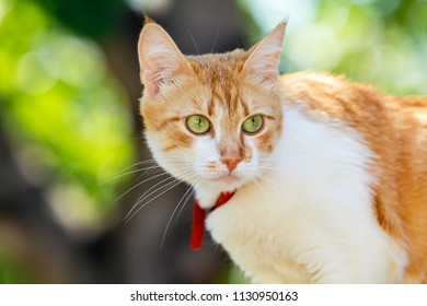 Cute white-red cat in a red collar watching for something on the garden of green grass. Beautiful day, close up, toned photo, shallow depth of the field.
