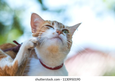 Cute white-red cat in a red collar scratches the ear on the garden of green grass. Beautiful day, close up, toned photo, shallow depth of the field.