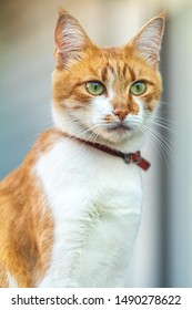 Cute white-red cat in a red collar relax on the garden on the fence, close up, shallow depth of field. Cat is staring at something.