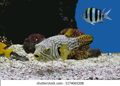 The cute white-spotted puffer or Stars-and-stripes Puffer swimming  in marine aquarium . Arothron hispidus is a component of the marine aquarium trade., it is marine fish in the family Tetraodontidae