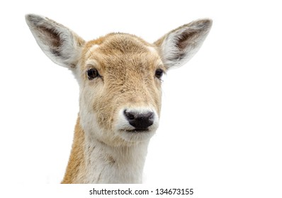 Cute White-tailed deer looking at the viewer. Head Close-up isolated on white background.