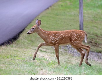A cute White-tailed deer (Odocoileus virginianus) fawn approaching a road. Shot in Acadia National Park, Maine, USA.