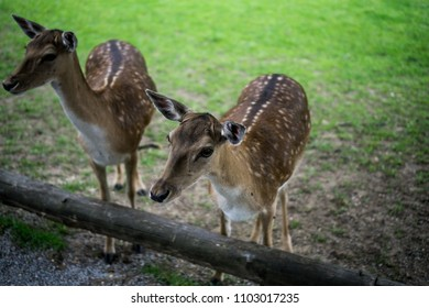 Cute white-tailed deers fawns standing in a rural park, Bambi concept, wild nature, shallow depth of field.