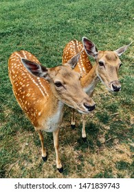 Cute white-tailed deers fawns standing in a wild park, Bambi concept, wild nature, outdoors concept. Selective focus.