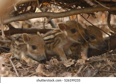 Cute wild boar newborns in forest at nest.