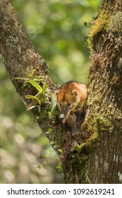 Cute wild coati resting on a tree with his tongue out, coati in forest, wild animal in forest