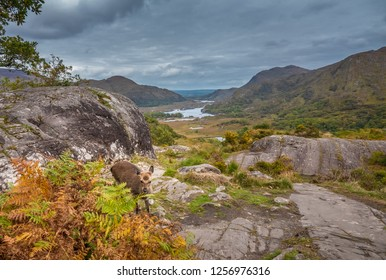 A cute wild deer photobombs a of shot of Ladies View, a scenic panorama on the Ring of Kerry, Killarney National Park, Ireland.