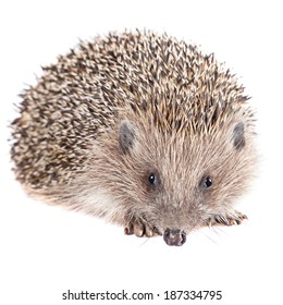 Cute wild hedgehog isolated