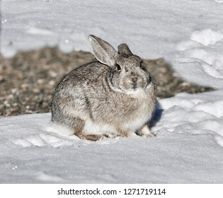 Cute wild rabbit sitting in newly fallen snow