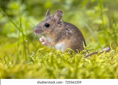 Cute wild Wood mouse (Apodemus sylvaticus) in green moss natural environment and looking in the camera