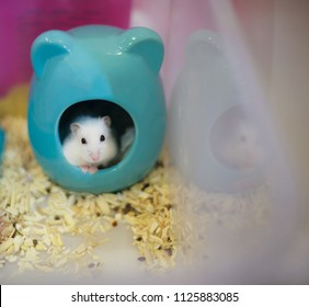 Cute Winter White Dwarf Hamster head out of her house begging for pet food. Winter White Hamster is also known as Winter White Dwarf, Djungarian or Siberian Hamster.