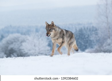 cute wolf running in snow with winter forest in background