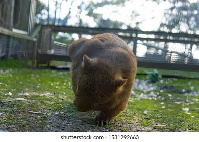 a cute wombat chilling in the park wild wombat