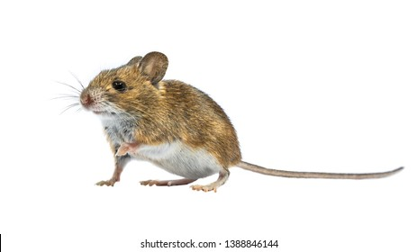 Cute Wood mouse (Apodemus sylvaticus) isolated on white background. This cute looking mouse is found across most of Europe and is a very common and widespread species.