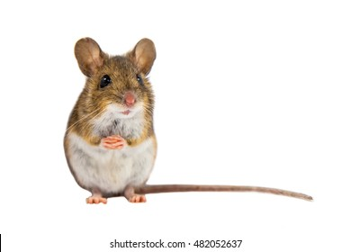 Cute Wood mouse (Apodemus sylvaticus) sitting on hind legs and looking in the camera on white background