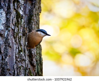 Cute wood nuthatch small passerine bird of Asia and Europe, with a characteristic black eye-stripe, blue head and orange underparts. it lives in woodland in old trees.
