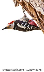 Cute woodpecker. Isolated photo. White background. Common woodpecker: Middle Spotted Woodpecker. Dendrocopos medius.