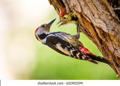 Cute Woodpecker on tree. Green forest background. Middle Spotted Woodpecker / Dendrocopos medius