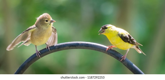 Cute yakking American finches on feeding pole nature photography urban wildlife