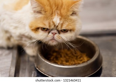 Cute yellow Exotic shorthair cat dissatisfied its dry food on tray. Angry or piss off pet protect provender from others with copy space for text.