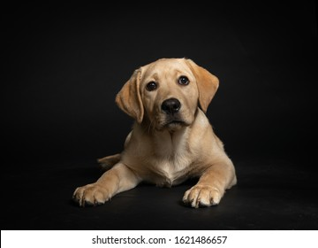Cute yellow lab puppy lying on floor in studio with dark background