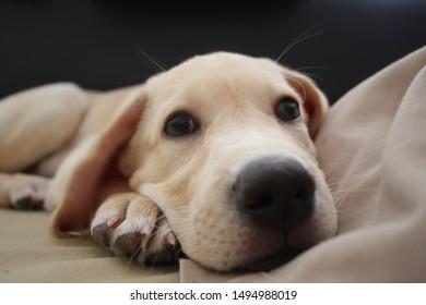 Cute yellow labrador puppy, lying on a sofa. Labrador puppy on a dark background. Puppy closer nose view.