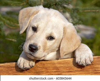 Cute Yellow Labrador Retriever puppy looking from behind a wood board.