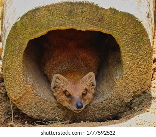 Cute Yellow Mongoose Lying Inside the Wood in Zoo in Prague. Red Meerkat (Cynictis Penicillata) is an African Mammal.