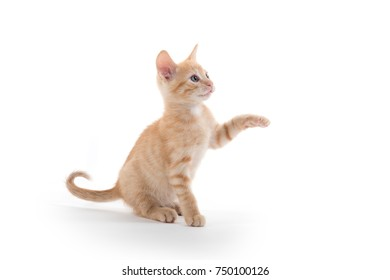 Cute yellow shorthair tabby male kitten on its hind legs isolated on white background