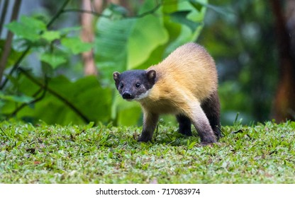 Cute Yellow-throated marten (Martes flavigula) walks on the grass field near the rest area look for food, Mae Wong NP, Northern of Thailand