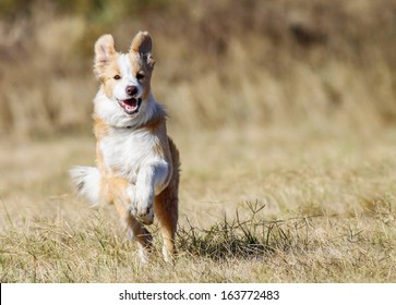 Cute yellow-white Border Collie happily running across the field