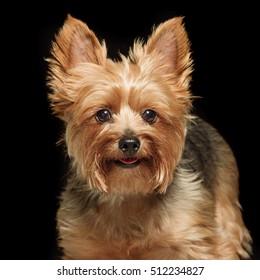 cute yorkie dog