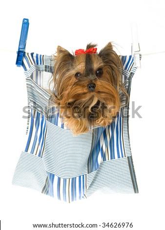 Cute Yorkie Inside Peg Bag Hanging Stock Photo Edit Now 34626976