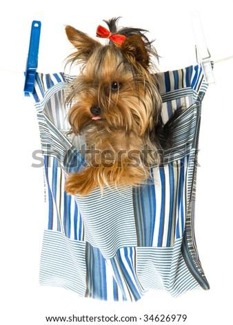 Cute Yorkie Inside Peg Bag Hanging Stock Photo Edit Now 34626979